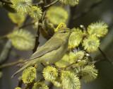 Lövsångare Willow Warbler Phylloscopus trochilus
