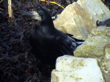 Råka Corvus frugilegus Rook