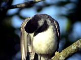 Sädesärla Motacilla alba White Wagtail