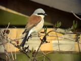 Törnskata Lanius collurio Red-backed Shrike