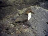 Strömstare White-throated Dipper Cinclus cinclus