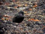 Stare Sturnus vulgaris Common Starling