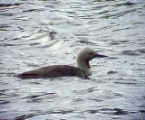 Smålom  Red-throated Loon (Red-throated Diver) Gavia stellata