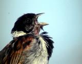 Sävsparv Emberiza schoeniclus Common Reed Bunting (Reed Bunting)