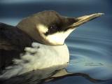 Sillgrissla Common Murre (Common Guillemot)  Uria aalge,