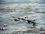 Alfågel Clangula hyemalis Long-tailed Duck