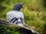 Tamduva Columba livia (domest.) Feral Pigeon