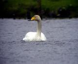 Sångsvan Cygnus cygnus Whooper Swan