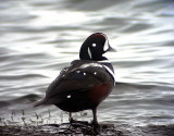 Strömand Harlequin Duck Histrionicus histrionicus