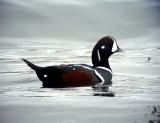 Strömand Histrionicus histrionicus Harlequin Duck
