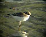 Större strandpipareCharadrius hiaticulaCommon Ringed Plover (Ringed Plover)
