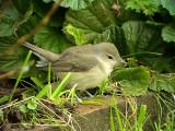 Trädgårdssångare Garden Warbler Sylvia borin