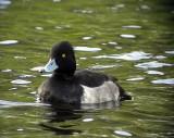Vigg Aythya fuligula Tufted Duck