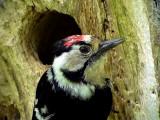 Mindre hackspett Lesser Spotted Woodpecker Dendrocopos minor