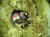 Mindre hackspett, Dendrocopos minor, Lesser Spotted Woodpecker