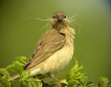 Rosenfink Carpodacus erythrinus Common Rosefinch