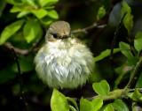 Svartvit flugsnappare European Pied Flycatcher (Pied Flycatcher) Ficedula hypoleuca