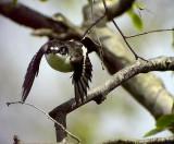 Svartvit flugsnappare Ficedula hypoleuca European Pied Flycatcher (Pied Flycatcher)