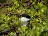 Entita Parus palustris Marsh Tit