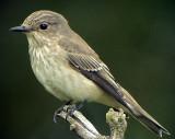 Grå flugsnappare Spotted Flycatcher Muscicapa striata