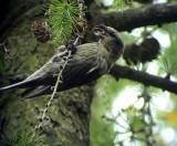 Mindre korsnäbb Loxia curvirostra Common Crossbill