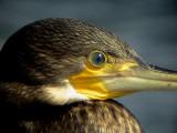 Storskarv, Phalacrocorax carbo, Great Cormorant