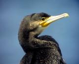 StorskarvGreat Cormorant Phalacrocorax carbo