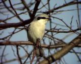 Varfågel  Northern Shrike  Lanius excubitor