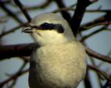VarfågelGreat Grey Shrike Lanius excubitor