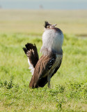 Kori bustard displaying.jpg