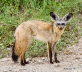 bat eared fox.jpg