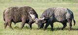 sparring bull buffalo.jpg