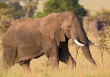 bull elephant.jpg