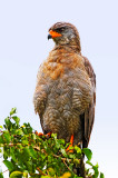 Dark Chanting Goshawk.jpg
