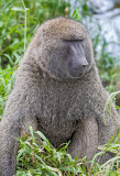 male baboon.jpg