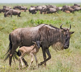 wildebeast cow and calf.jpg