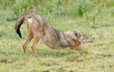 Golden Jackal.jpg