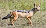 Black Backed Jackal.jpg