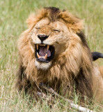 lion kill4.jpg