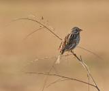 Eastern Song Sparrow