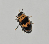 Four-Spotted Fungus Beetle