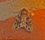 Dark Apamea Moth (9328)