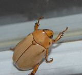 Goldsmith Beetle