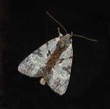 Andromeda Underwing Moth (8849)