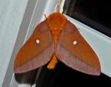 Pink-striped Oakworm Moth (Female) (7723)