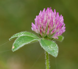 Clover, Red