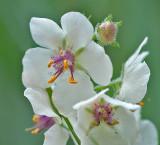 Wildflower - Moth Mullein