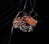 Neoscona crucifera with Beetle Prey