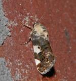 Exposed Bird Dropping Moth (9136)