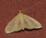 Angelic Crocidophora Moth (4944)